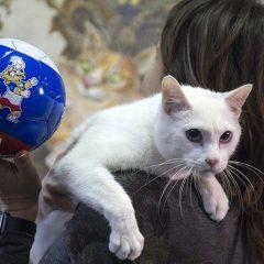 Мачорот кој ги предвидуваше резултатите од Мундијалот си најде дом