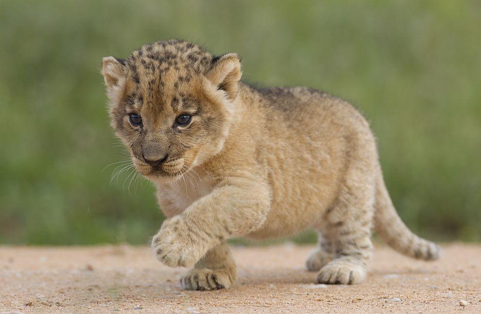 Родени се првите лавчиња од епрувета