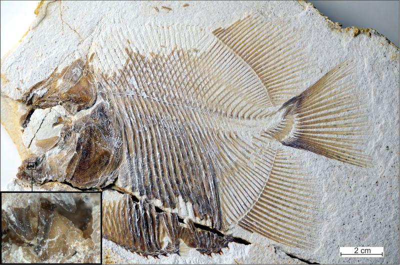 Остатоци од праисториска пирана пронајдени во Германија