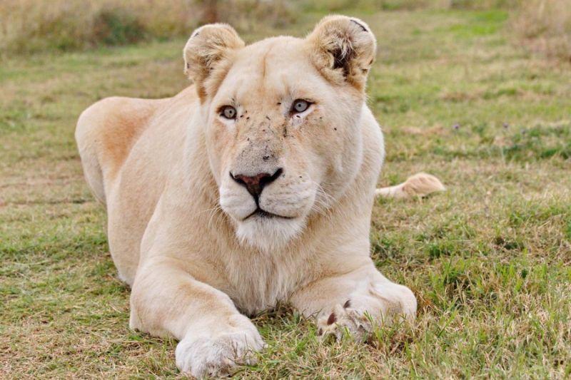 Скопје Зоо има нов жител – белата лавица Бела